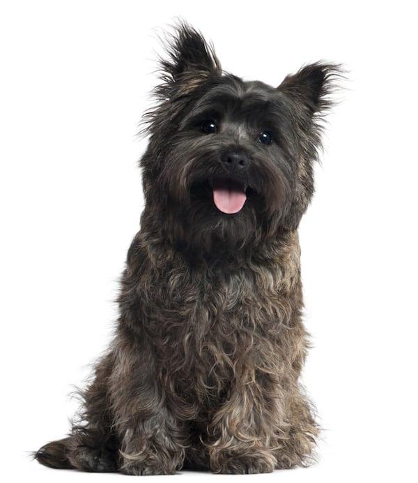 Toto Cairn Terrier Brown Cute Dog Benji